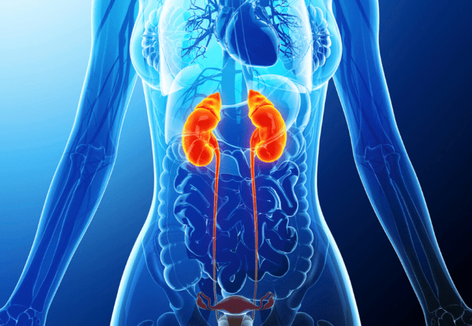 Human Urinary System Image